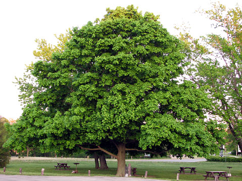 Mapletreemature