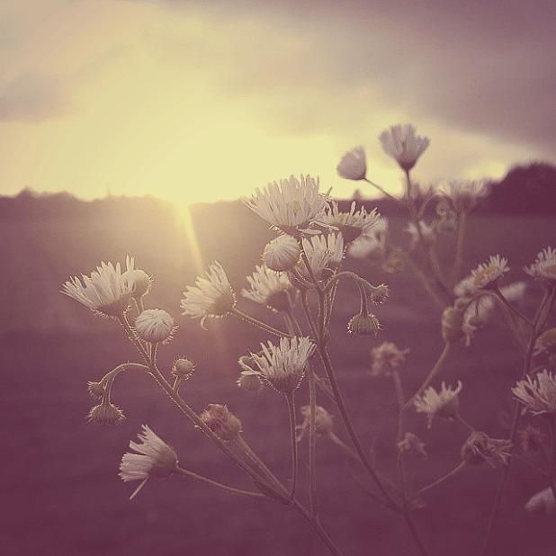 Wildflowerdaisies